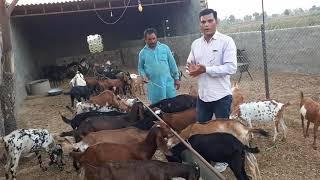 Goat farm | Desi goat farming in pakistan Top class bakra in