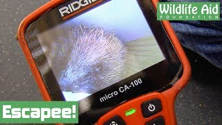 Download Escaped hedgehog at Wildlife Aid! Video