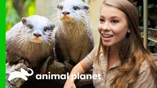 Download Two ″Otterly Adorable″ Asian Otters Put On A Show At Australia Zoo | Crikey! It's the Irwins Video
