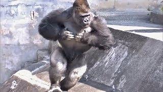 Download ゴリラのドラミング part1 (胸をポコポコ) / 東山動物園 Video