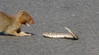 Download Slender Mongoose Interaction With Puff Adder (Black & White) - Latest Wildlife Sightings Video