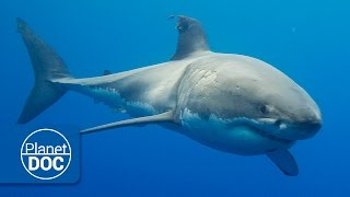 Download Australia. The Great White Shark | Full Documentary Video