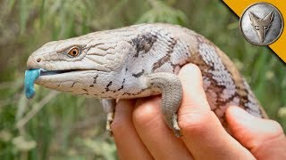 Download Blue Tongue Skink! Video