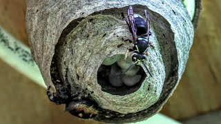 Download HORNET VS SPIDER Bald Faced Hornets Nest Build Time Lapse Yellow Jackets Nest Video
