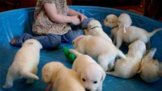Download White LItter Of Labrador Puppies Video