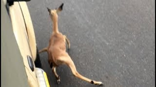 Download Wild Dogs Chase Impala Lamb Into Vehicle Video
