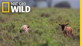 Download Baby Wildebeest Meets Baby Hyena | Destination WILD Video