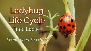 Download Time Lapse of Lady Beetle Life Cycle Video