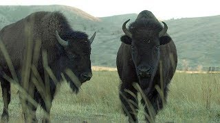 Download Bison - Farm To Fork Wyoming Video