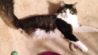Download 2-Legged Cat Gets Brother Just Like Him | The Dodo Video