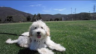 Download CUTE CAVAPOO PUPPY'S BIG DAY OUT! Video
