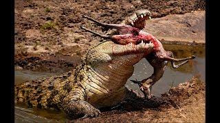 Download Crocodile attacks elephant, pig, impala - Animal attacks - Crocodile kills lion! Crocodile eating cr Video