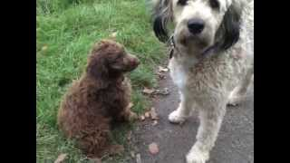Download Perro de agua español (Spanischer Wasserhund) Welpe - Pépe Video