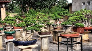 Download Thăm vườn Bonsai Mini đẳng cấp ở Bắc Ninh Video