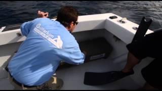 Download Loggerhead sea turtle release in Gulf of Mexico Video