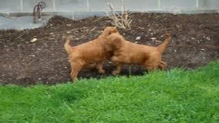 Download Goldendoodle Puppies For Sale Maria Nolt Video