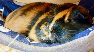 Download Top Guinea Pig Products Video