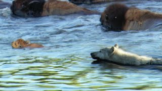 Download Buffalo Protects Calf From a Wolf | BBC Earth Video