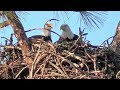 Download SWFL Eagles Sticks Galore & Big Ones Too, Two Sub Adults, Mating & Female Dominance 10-18-18 Video