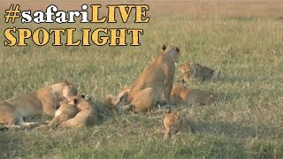 Download safariLIVE takes a closer look at the lions of the Angama Pride. Video