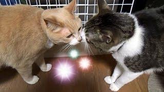 Download ♂猫だいずがまたまた顔を怪我してる! 懲りない子です(笑)【猫日記こむぎ&だいず】2017.05.23 Video