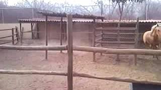 Download yegua Palomina Relinchando Video