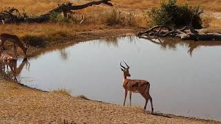 Download Djuma: Sights and sounds of the late afternoon - 13:29 - 07/16/19 Video