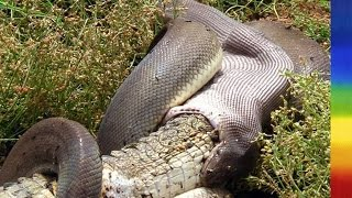 Download Attack of the Giant Pythons in Florida - National Geographic Documentary Video