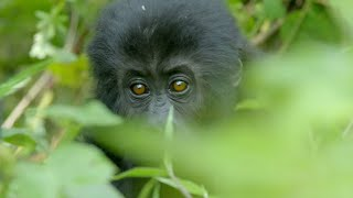 Download Silverback Gorilla Fight - Gorilla Family and Me - BBC Earth Video