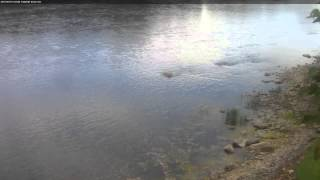 Download Trumpeter Swans on the Mississippi River in Monticello, Minnesota Video