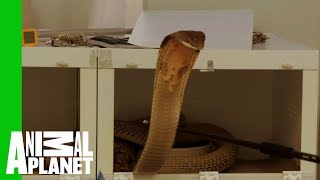 Download This Huge Deadly King Cobra Does Not Want To Cooperate With Zookeepers Video