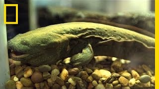 Download Snot Otters (aka Hellbenders) Slipping Away | National Geographic Video