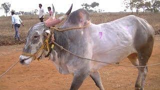 Download Powerful race bulls of Dhamane Belgaum Video