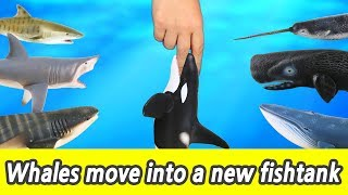 Download [EN] #76 Whales move into a new fishtank, kids education, Collecta figureㅣCoCosToy Video