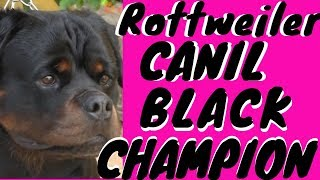 Download Canil Black Champion Rottweiler Video
