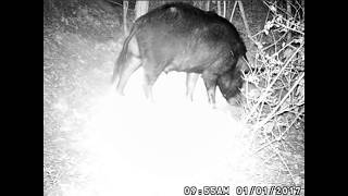 Download Hog on trail camera, caught in snare. Terra 10 Video