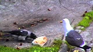 Download CROWS VS SEAGULL . Oslo Norway Video