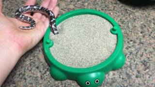 Download Waffle the Kenyan Sand Boa playing with his new toy! Video