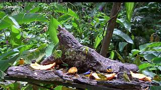 Download Green Honeycreeper Pair and a Flock of Thick-billed Euphonias, Feb 16, 2018 Video