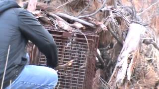 Download Mountain lion caught in hunter's trap Video