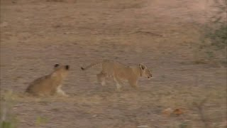 Download Tiny lion cubs try to keep up with mom Video