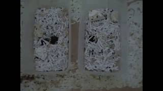 Download How to Raise Dermestid Beetles (Growing a Colony) Video