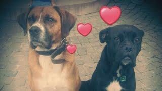Download Luna und Luis Boxer Labrador Mix Kinderlieb sozial und ruhig ein Familienhund für alle Lebenslagen Video