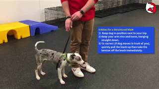 Download Puppy Class Lesson: Stopping Leash Pulling with a Martingale Collar Video