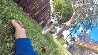 Download What My Husky Does When I Pretend Faint! Video