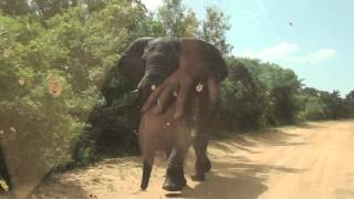 Download Elephant attack 29 march 2016 St. Lucia, Video