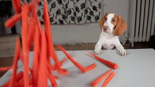 Download Puppy Gets Carrot Surprise! Cute Puppy Dogs Potpie, Maymo & Penny Video