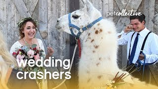 Download (Pet) Wedding Crashers | The Pet Collective Video