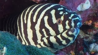 Download Moray Eels - Reef Life of the Andaman - Part 7 Video
