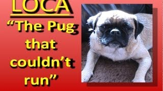 Download Loca the Pug singing......'The pug that couldn't run' Video